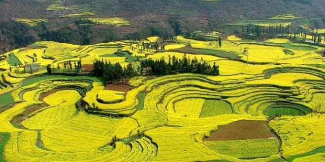 Name:  Canola-Flower-Field-China-660x330.jpg